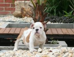 VENDI CACHORRO REGISTRADO DE bulldog ingles