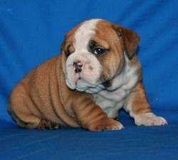 Ejemplares de Pura raza E.Bulldog registrados 