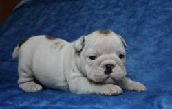Ejemplares de raza Bulldog Ingles Cachorros disponibles