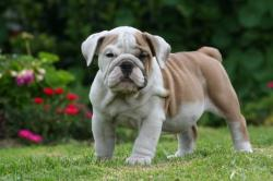 Ejemplar de raza bulldog ingles registrada 