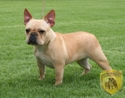 Rojas´s Paris bulldog frances