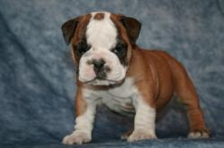 Raza Bulldog Ingles  del criadero Nutibara Bulldogs -Pet shop Special Dogs